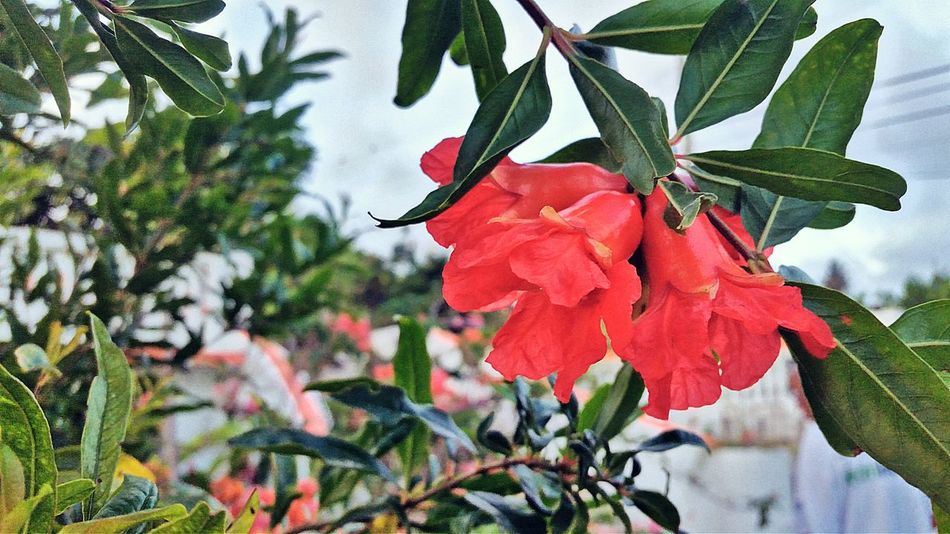 Growth Plant Leaf Nature Beauty In Nature Flower Fragility Petal Red No People Day Outdoors Low Angle View Flower Head Blooming Branch Pomegranate Tree Pomegranate Pomegranate Flowers Mobile Photography St. Croix USVI