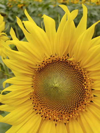 Close-up Flower Flower Head Flowering Plant Inflorescence Petal Pollen Sunflower Yellow