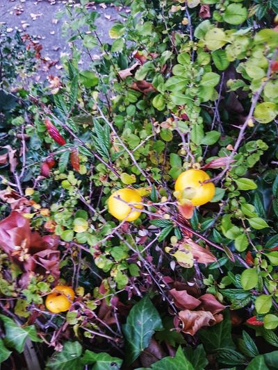 Little yellow crab apples still growing amoungest the thorns.. Crab Apples Fruit Leaf Yellow Close-up Green Color Plant EyeEmNewHere