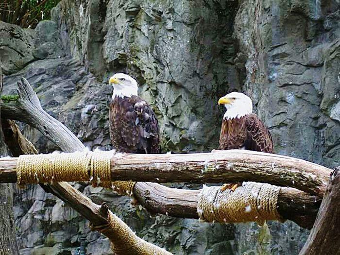 America's Pride Baldeagles USA AmericanPride Nationalbird Endangered  Beautiful Birds American Eagle Eagles Beauty