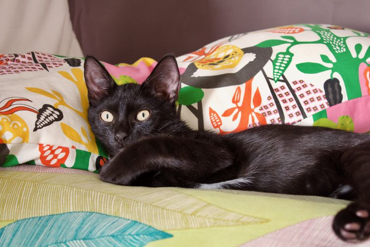 Pets Domestic Domestic Animals Indoors  Domestic Cat Bed Cat Relaxation Feline Whisker One Animal Black Color Black Kitten Black Cat Resting Big Eyes Annoyed
