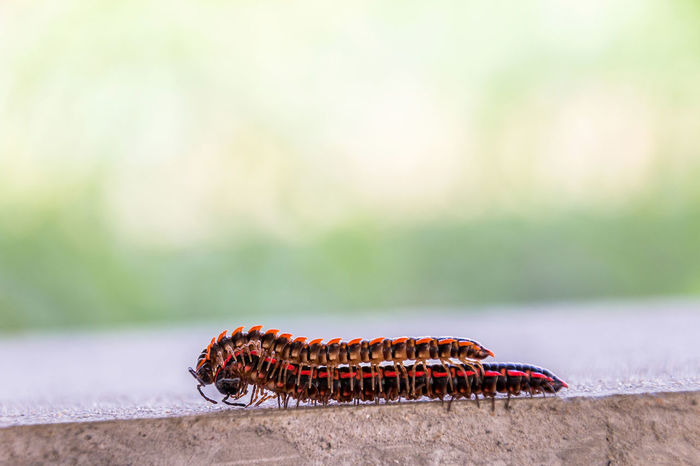 The millipedes breed when humid weather in summer Animals Biology; Black; Breed; Caterpillar; Clamber; Close Up; Colorful; Crawl; Environment; Feet; Garden; Humid; Legs; Millipede; Moist; Nature; Red; Summer; Tropical; Wet; Wildlife;