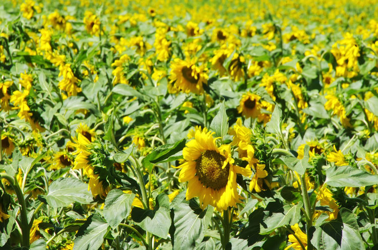 Blooming Sunflowers Beauty In Nature Field Field Of Flowers Flower Flower Head Flowering Plant Freshness Petal Plant Sunflower Sunflowers Sunflowers🌻 Yellow