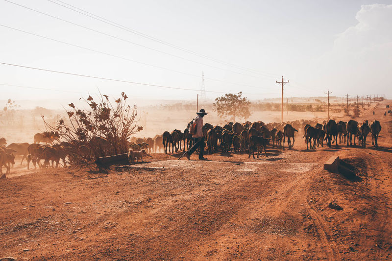 Adventure Animal Animal Herd ASIA Asian Culture Cows Desert Evening Herd Journey Nature Outdoors Traditional Clothing Travel Traveling Trip Vietnam Wanderlust The Week On EyeEm Editor's Picks
