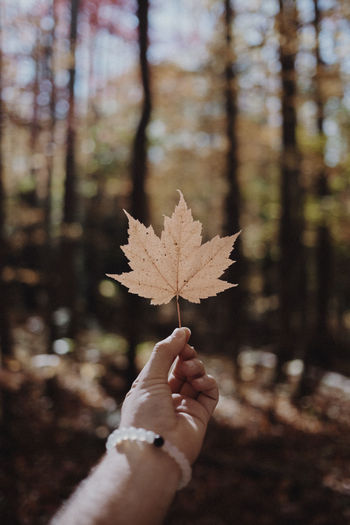 Cropped Hand Of Person Holding Dry Maple Leaf