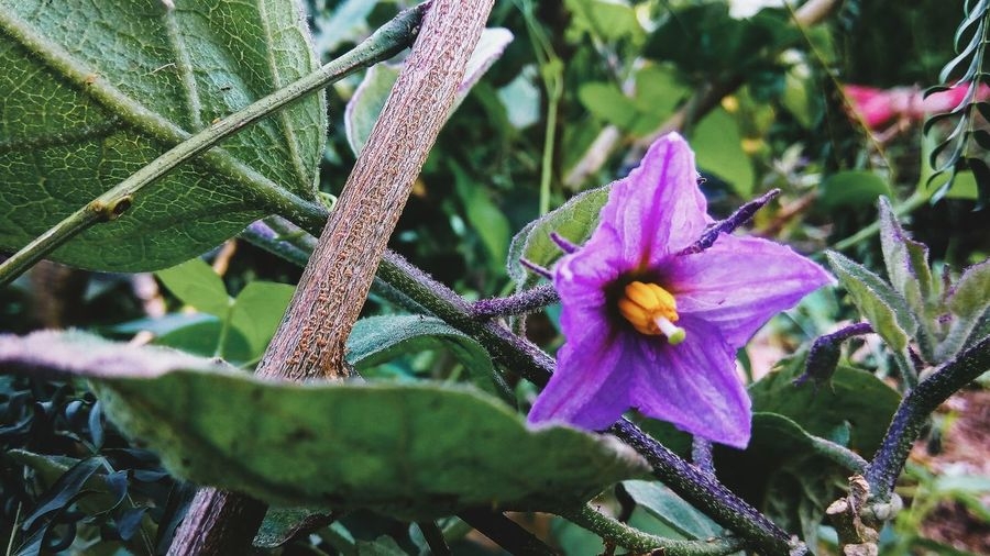 Flower Growth Freshness Nature Beauty In Nature Green Color Plant Close-up Purple Leaf Flower Head Day Outdoors Nature Photography