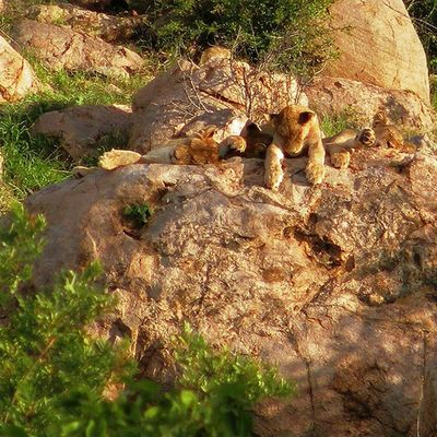 Lion cubs resting on a rock. Africanamazing Natureaddict Animalsaddict Squaredroid @Animals Wildlife Igersmp Africa Naturelover_gr