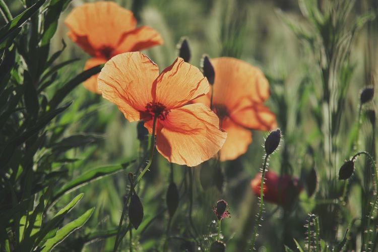 Close-up of orange poppy plant on field