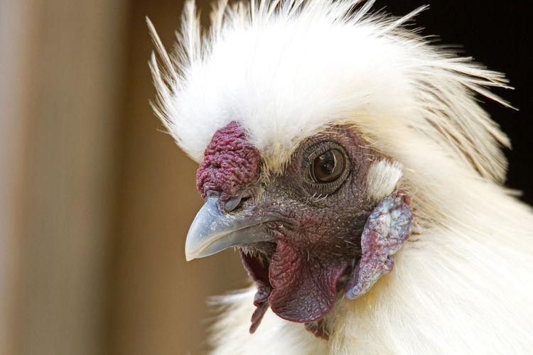 Silk chicken