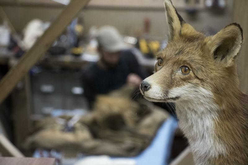 Close-up Fox Fox🐺 Mammal One Animal Stuffed Animal Stuffed Animals Taxidermist Taxidermy Taxidermy Art