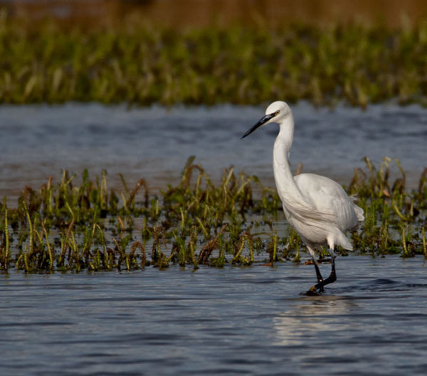 Little Egret feeding Animal Themes Animal Wildlife Animals In The Wild Beauty In Nature Bird Day Egret Lake Little Egret Nature No People One Animal Outdoors Plant Plumage Water Waterfront