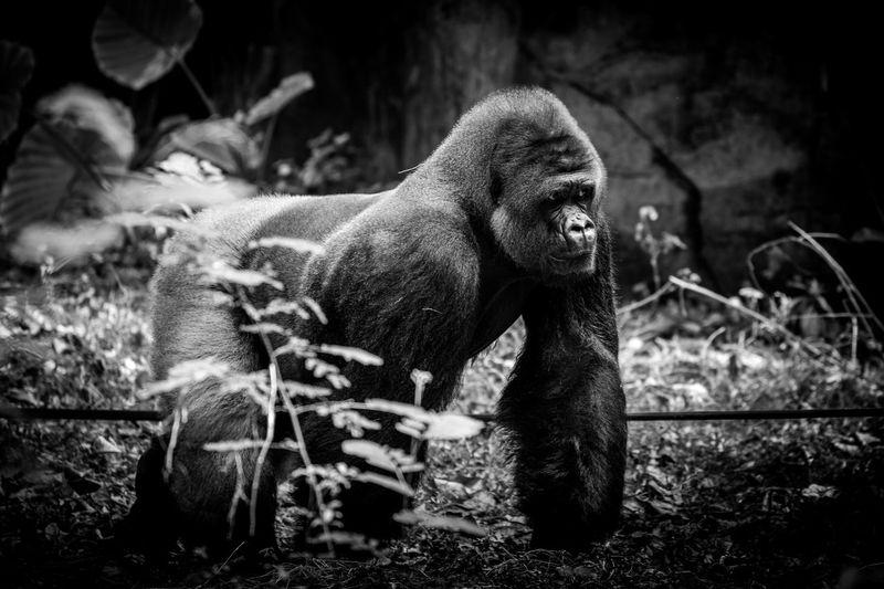 Gorilla on field