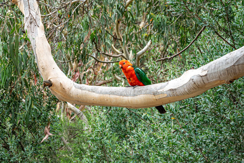 Male australian king parrot, alisterus scapularis, perched on tree branch, kennett river, australia