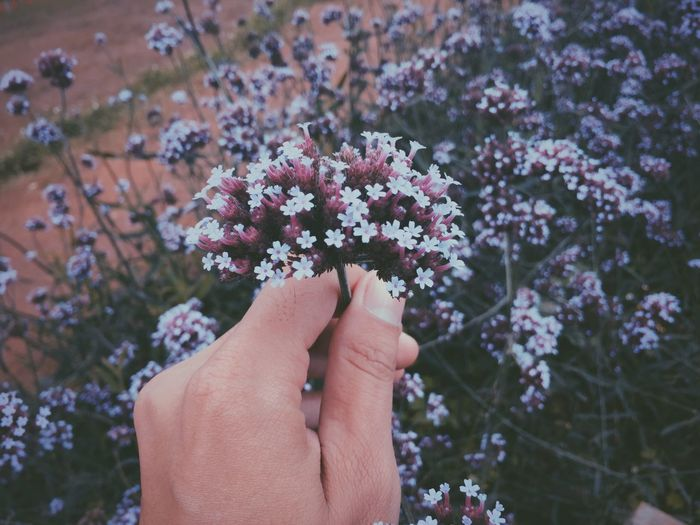 Cropped Image Of Hand Holding Vervain Flowers