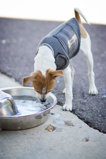 High Angle View Of Dog Drinking Water From Bowl