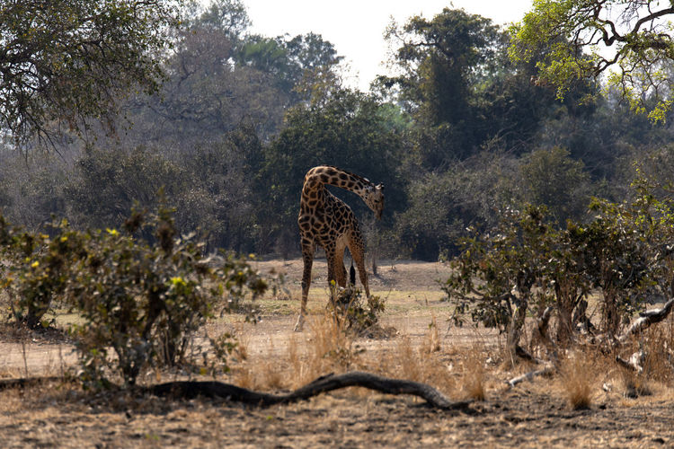 View of giraffe in forest