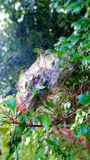 Aussie Spiderwebs Australian Spider Spiderweb Spider Trap Web Trap Spiderweb Traps Nature Natures Survival Smarter Than We Give Credit For Smart Spider Picture Perfect N.S.W Malephotographerofthemonth EyeEm Nature Lover EyeEm Best Shots Picoftheday Photooftheday Photo Of The Day Photos Around You Nature At Its Best