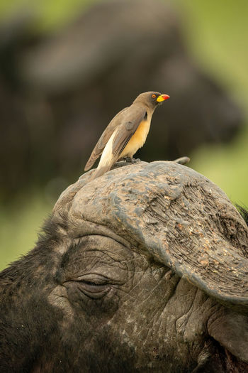 Yellow-billed oxpecker perched on head of buffalo