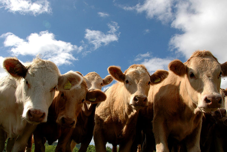 Animal Themes Brecon Beacons Cloud - Sky Day Domestic Animals Herd Of Cows Large Group Of Animals Livestock Mammal Nature No People Outdoors Sky United Kingdom Wales