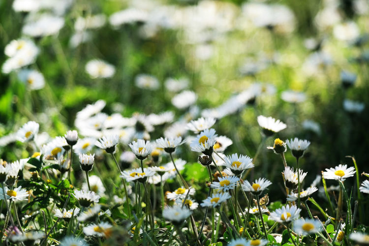 Flower Daisy Plant Fragility Beauty In Nature Freshness Nature Outdoors Growth Flowering Plant