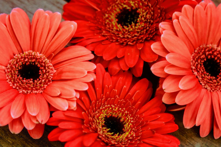 Gerbera flower Magerite Orange Red Beauty In Nature Close-up Color Colorful Daisy Flower Flower Arrangement Flower Head Flowering Plant Fragility Freshness Gerbera Gerbera Daisy Gerbera Flower Gerberaflower Inflorescence Mageriten Nature No People Red Red Flower Vulnerability