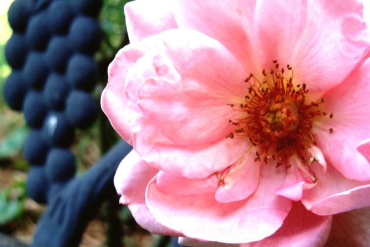 Mom's Roses Roses Flower Head Flower Pink Color Petal Blossom Wild Rose Stamen Close-up Plant Pale Pink