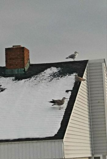There's always a wiseguy... No People Tranquility Happy Moment Seagulls Rooftop Day Winter Wildlife & Nature My Point Of View Enjoying Life Colors Of Life Nature Lover By The Sea Freedom Snow Loving The Landscape Winter Beauty  Outside In Portland Maine USA Nature Animal Themes Bird Sky
