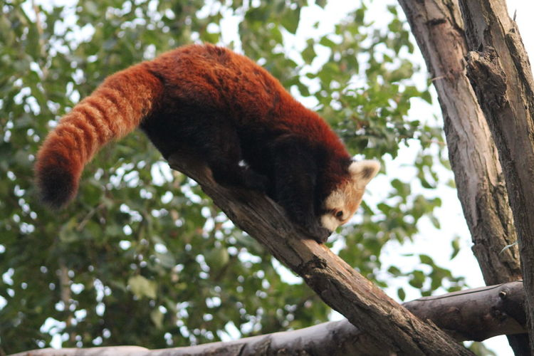 Low angle view of red panda on tree