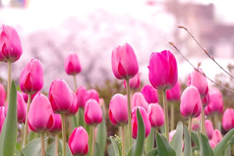 Spring Tokyo Japan Pink Flowers Pink Flower Pink Color Pink Tulip Tulip Sakura Cherryblossom Botanical Botanical Springtime Flower Flowering Plant Plant Pink Color Freshness Beauty In Nature Close-up Nature Flower Head Outdoors Day