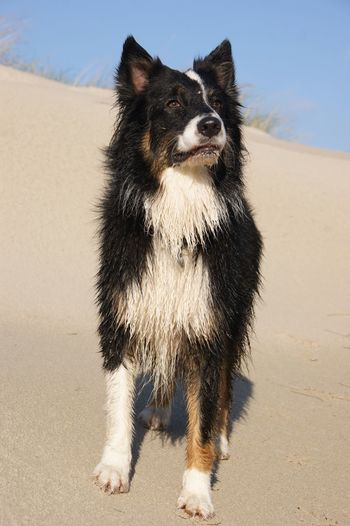 EyeEm Selects Aussies Australian Shepherd  Sand One Animal Dog Hund Dünen Niederlande