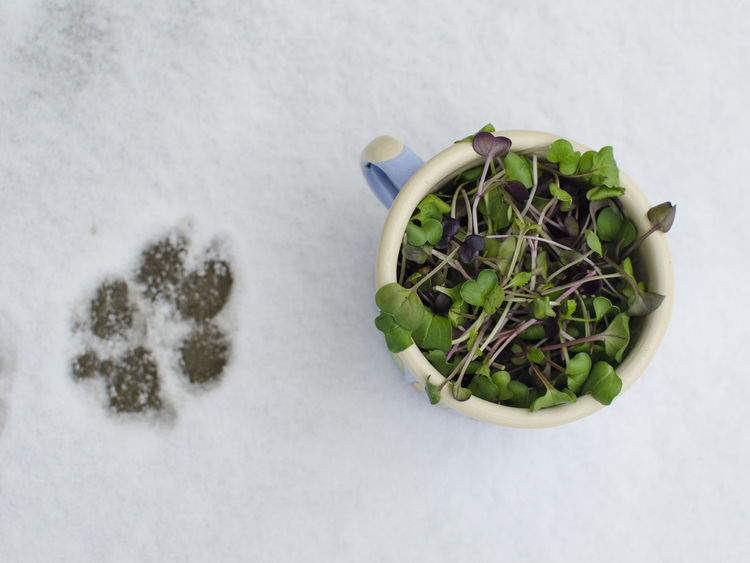 FootPrint Close-up Day Dog Freshness Green Color Growth Healthy Eating High Angle View Indoors  Leaf Microgreens Nature No People Snow Studio Shot Vegan Veganfoodporn White Background