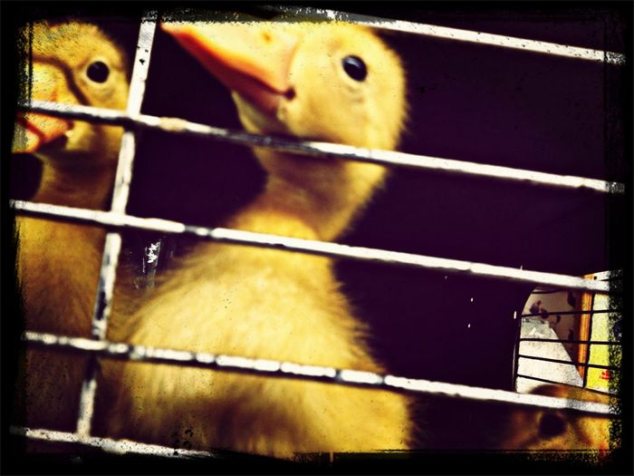 I am innocent i tell ya--ducky adoptions Hanging Out Check This Out Dime Road On Trial