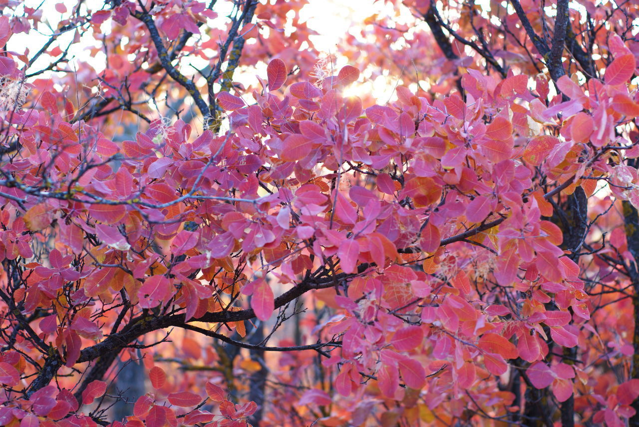CLOSE-UP OF PINK BLOSSOMS ON TREE