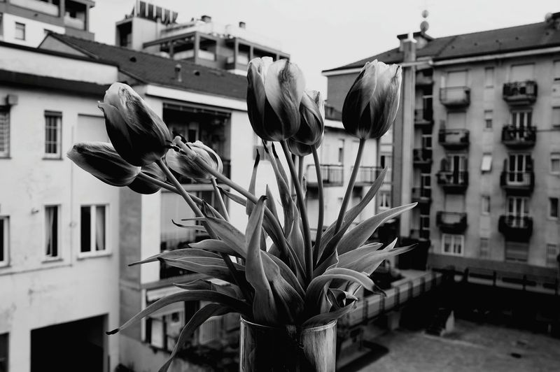 Blackandwhite Black And White Black & White Blossom Tulips Apartment Buildings Spring Flowers Photography In Motion Urban Spring Fever Flowers, Nature And Beauty Creative Light And Shadow Flowers Flower Here Belongs To Me Bouquet Of Flowers Bouquet Valentine's Day  Spring Eyeemphoto