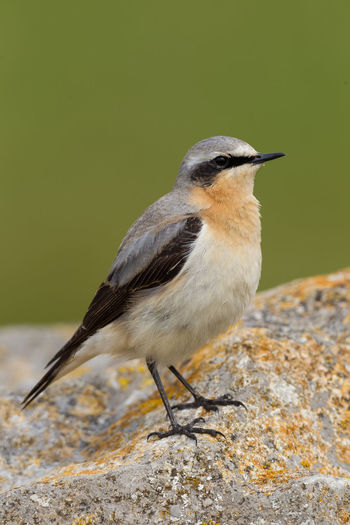 Northern Wheatear Collalba Gris Northern Wheatear Oenanthe Oenanthe Steinschmätzer Traquet Motteux Animal Themes Animal Wildlife Animals In The Wild Bird Close-up Day Focus On Foreground Nature No People One Animal Outdoors Perching Wheatear