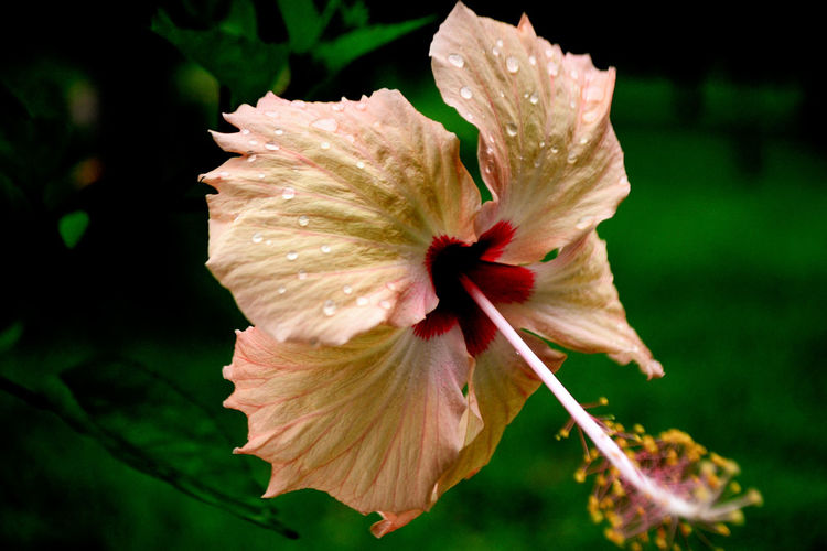 Close-up of hibiscus flower