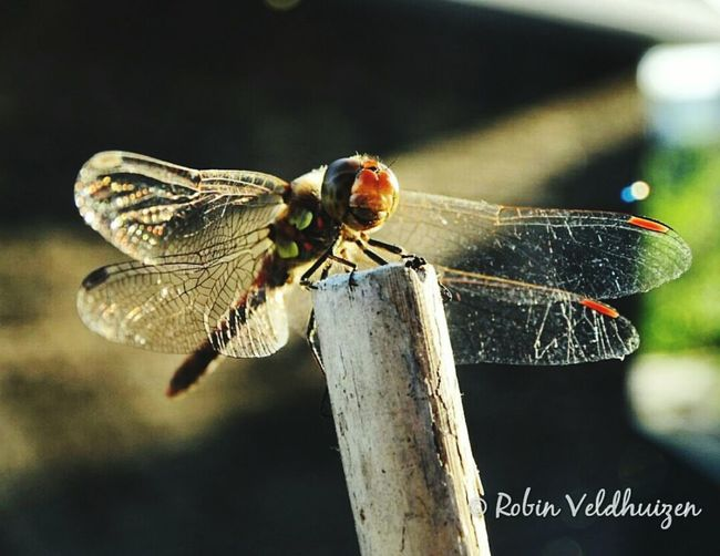 Animals In The Wild Insect Wildlife Close-up Day Nature Dragonfly Sun Photography Photographer Photooftheday First Eyeem Photo