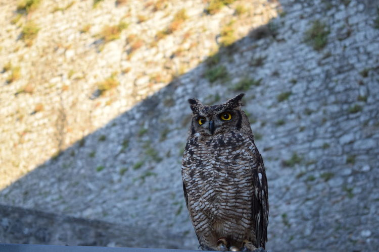 Animals In The Wild From My Point Of View Gufo King Nature Owl Art Owl Portrait. Wildlife & Nature Animal Eyes Nature_perfection Naturelovers Naturephotography Owl Owl Eyes Owl Photography Owls Wildlife Pet Portraits