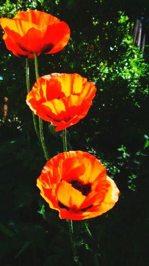 In my garden Big Poppy! First Eyeem Photo