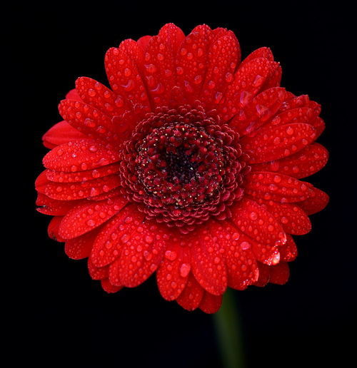 Black Background Water Droplets Beauty In Nature Black Background Blooming Close-up Flower Flower Head Fragility Freshness Gerbera Daisy Nature Night No People Petal Red Red Gerbera Studio Shot Zinnia