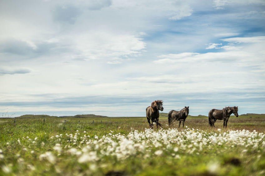 icelandic horses Black Horse Field Grass Horses Iceland Iceland Pony Nature Open Field Pony Animal Animals Domestic Animals Field Flowers Free Animals Group Of Horses Herd Horse Iceland Horse Icelandic Horse Landscape Nature Outdoors Summer Three Horses