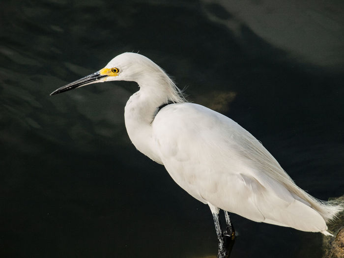 Ni pestilencia que ande en oscuridad, Ni mortandad que en medio del día destruya. Animal Animal Themes Animal Wildlife Animals In The Wild Beak Bird Close-up Day Egret Focus On Foreground Great Egret Nature No People One Animal Side View Vertebrate Water Water Bird White Color