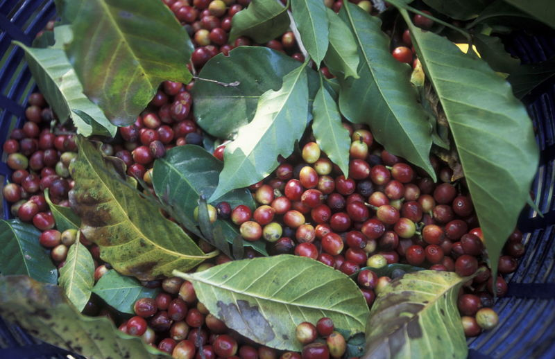 Directly above shot of coffee crops in container