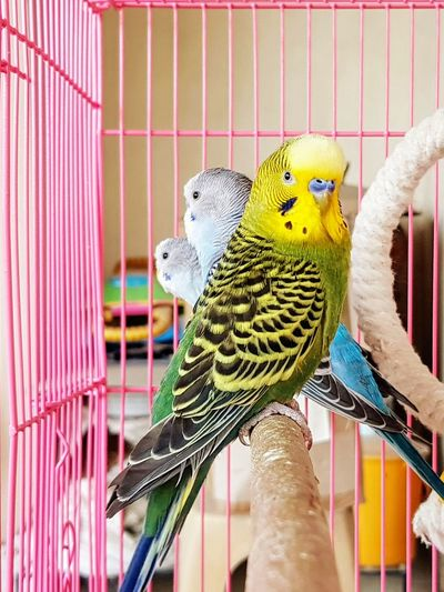 Pet budgies perched in a cage Parrot Animals In Captivity Pets Multi Colored Close-up Domestic Animals Indoors  Bird