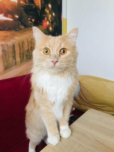 Kitty Ragdoll EyeEm Selects Pets Domestic Domestic Animals Cat Domestic Cat Feline One Animal Animal Looking At Camera Home Interior Whisker Portrait Mammal
