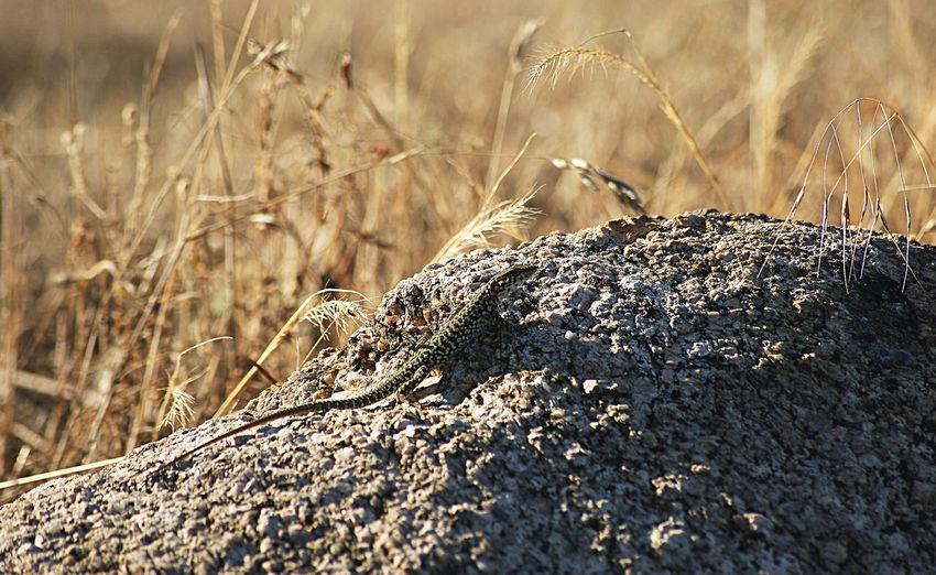 Lezard au coucher du soleil. Lézard Vert Lézards Rochers Granite Soleil Couchant Rural Scene Agriculture Cereal Plant Grass Close-up Sky