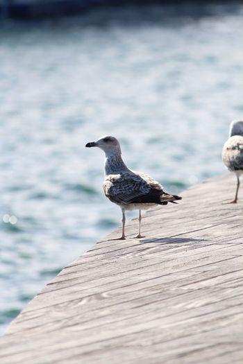 Watch EyeEm Selects Bird Animals In The Wild Animal Wildlife Water Animal Themes Vertebrate Animal One Animal Wood - Material Sea Seagull No People Nature