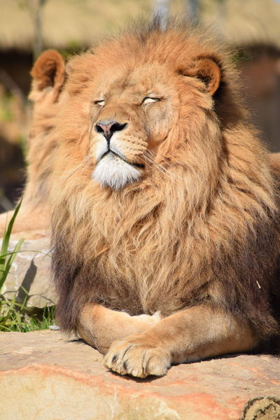lion Animal Themes Animal Wildlife Animals In The Wild Close-up Day Feline Focus On Foreground King Lion Lion - Feline Mammal No People One Animal Outdoors Portrait Powerful Rock Safari Animals Strong