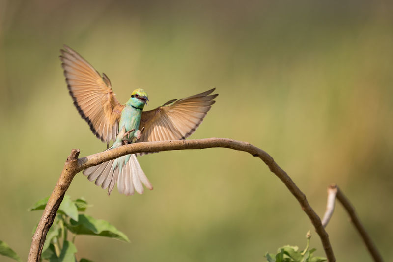 Bee-eater Green Bee-eater Merops Orientalis