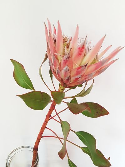 king protea flower Native Flowers Native Plants Wildflower Peach Protea King Protea Flower Flowering Plant Flower Photography Flowering Plant Flower Head Pink Single Flower Plant Life Blooming In Bloom Plant Part Botanical Garden Stem